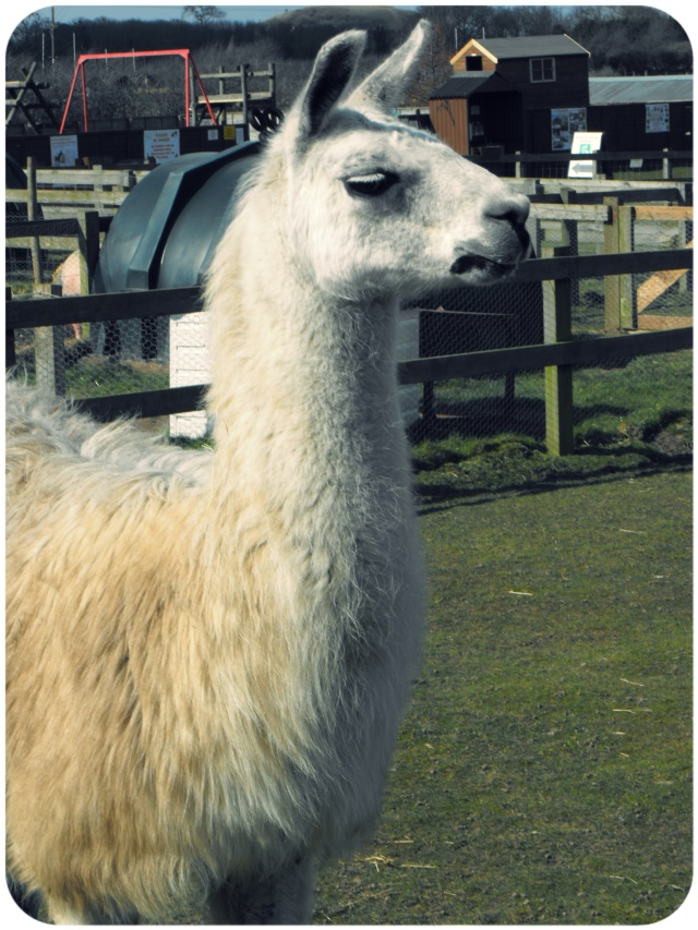 clyde hillside animal sanctuary lama