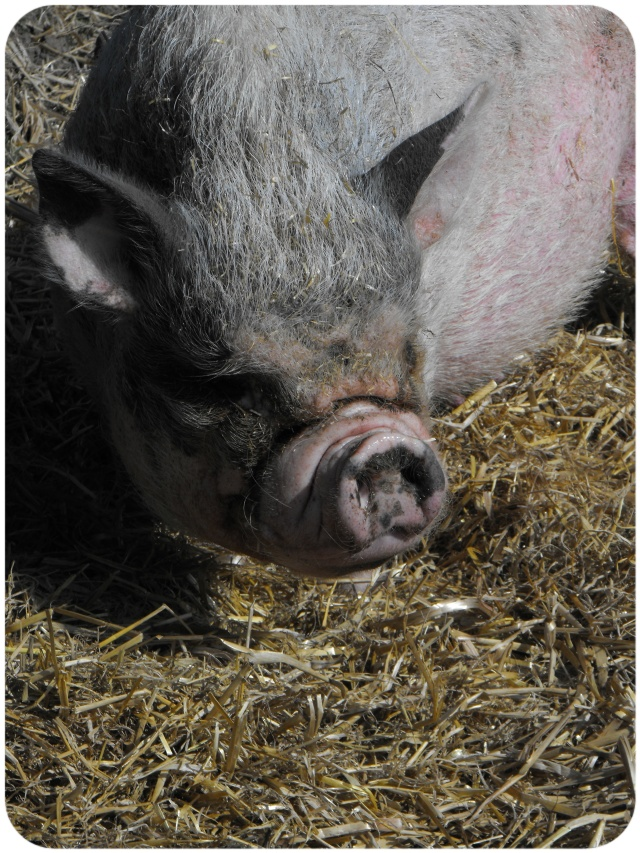 pot bellied pig hillside animal sanctuary